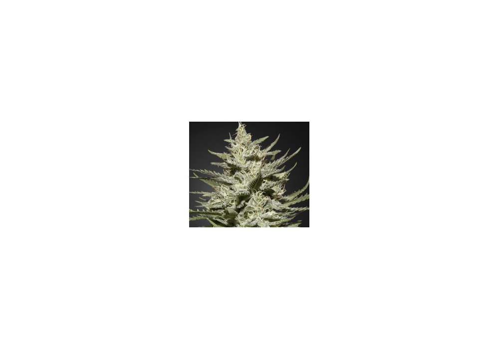Greenhouse The Church CBD seeds