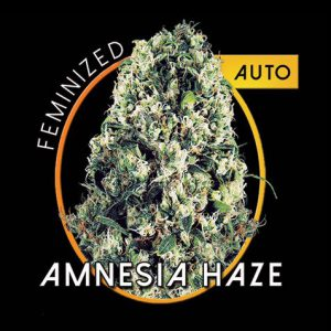 AmnesiaHazeAutoB.jpg