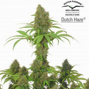 DutchHaze.jpg