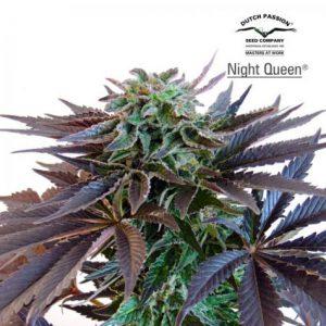 NightQueen.jpg